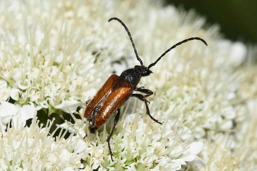 Cerambycidae: Pseudovadonia livida