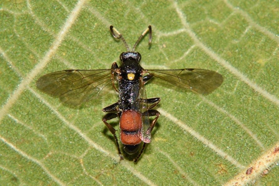 Identificazione Ichneumonidae