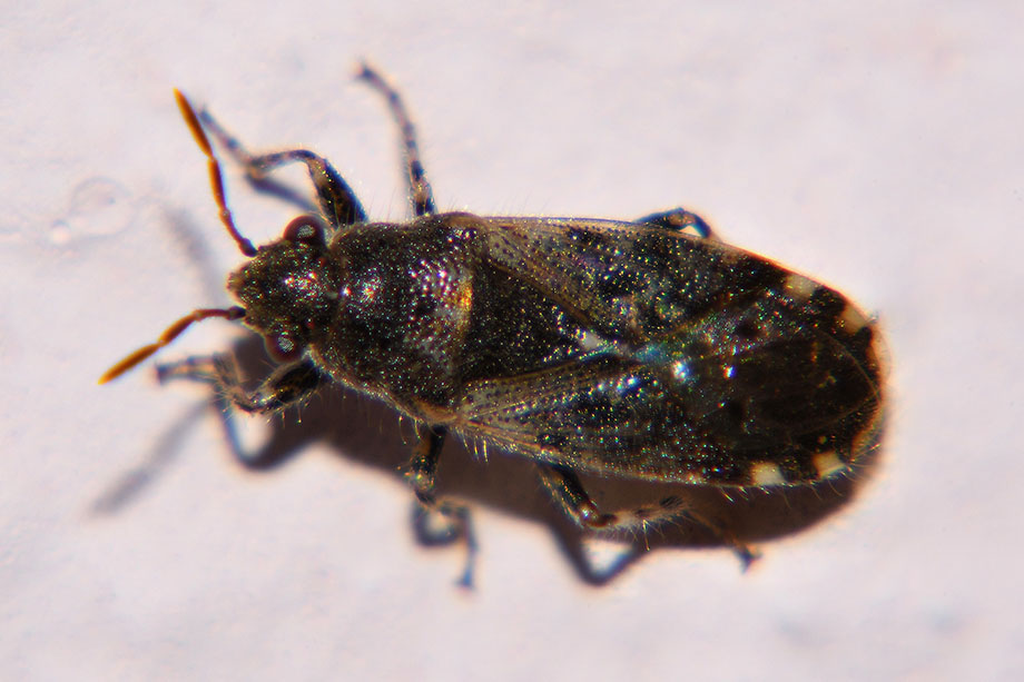 Lygaeidae: Heterogaster sp.