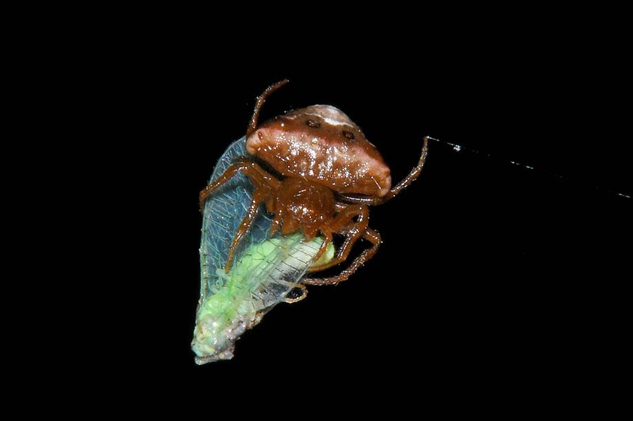 Ragnatela di Cyrtarachne ixoides - Cascina (PI)