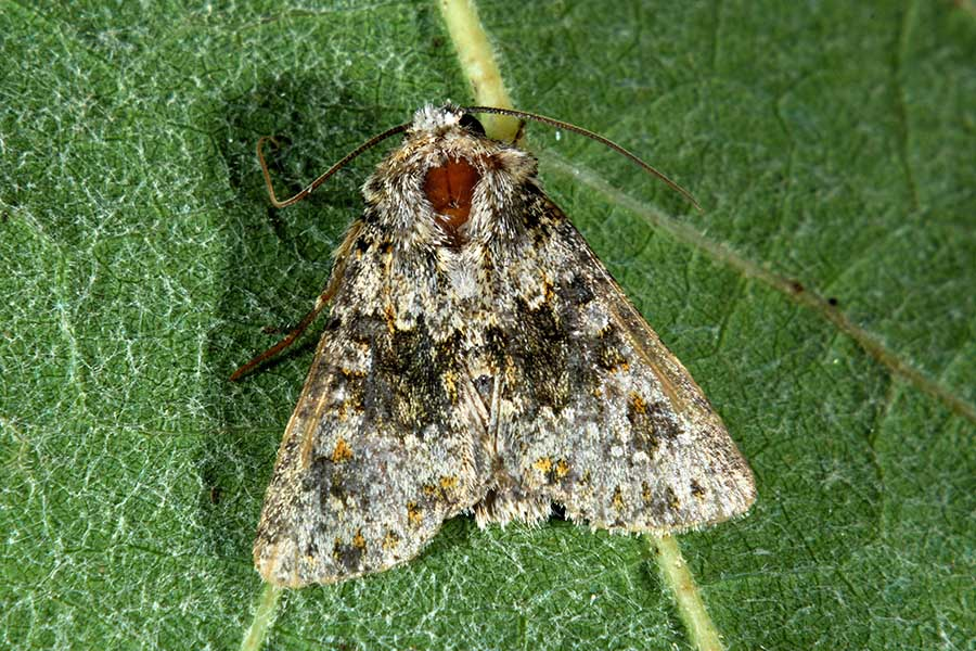 Id falena:  Hecatera dysodea - Noctuidae
