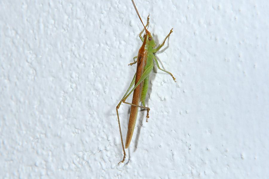 Conocephalus discolor?  No, Anisoptera fusca
