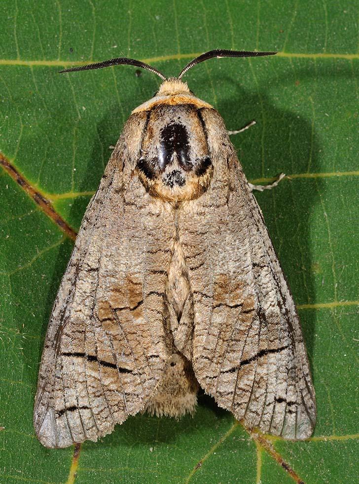 Identificazione falena - Cossus cossus