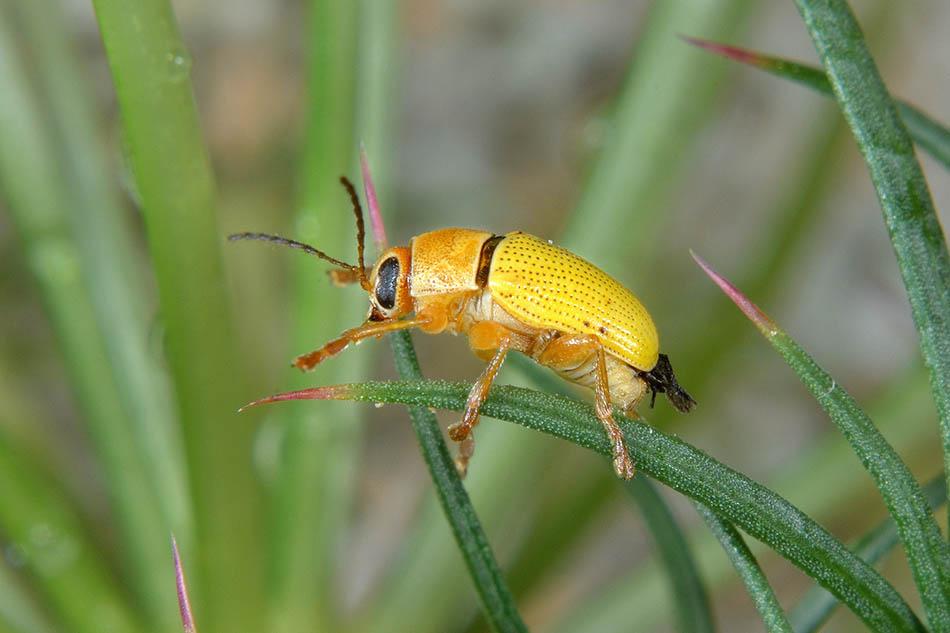 Cryptocephalus sulphureus, Chrysomelidae