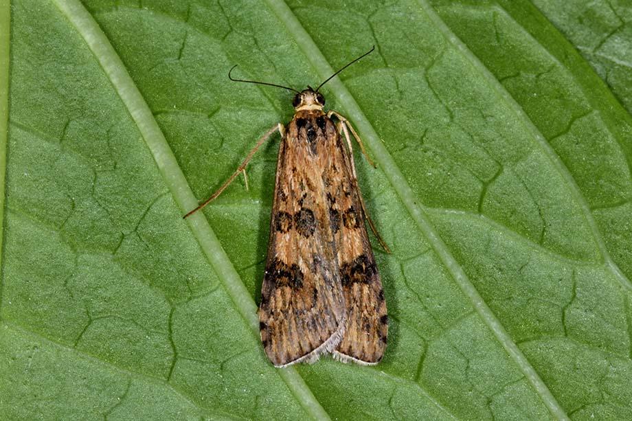 Identificazione falena - Nomophila noctuella