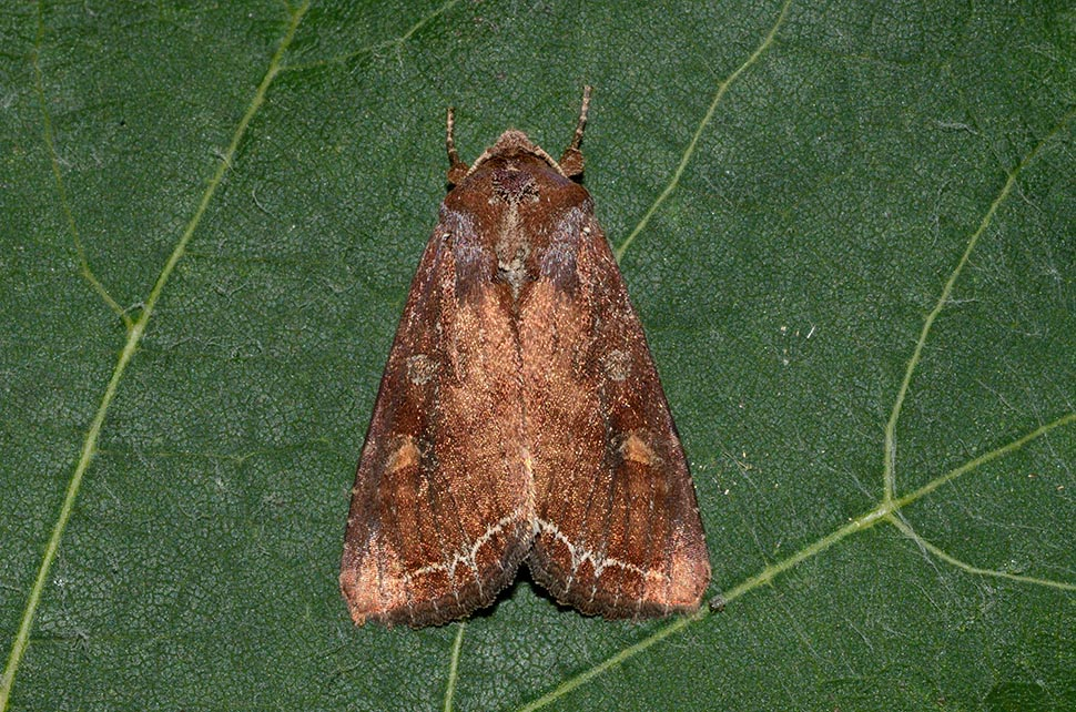 Identificazione falena: Lacanobia (Diataraxia) oleracea