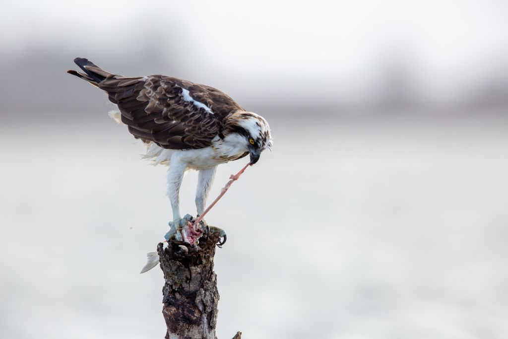 Falco pescatore (Pandion haliaetus)