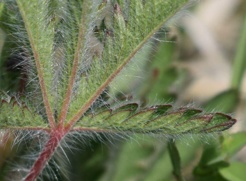 Che pianta è?  Potentilla recta