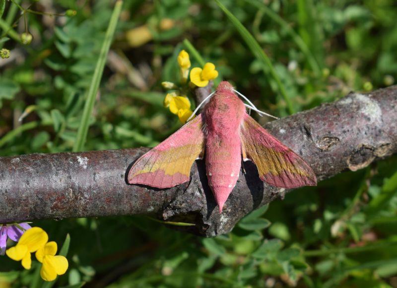 Deilephila porcellus (Sphingidae)