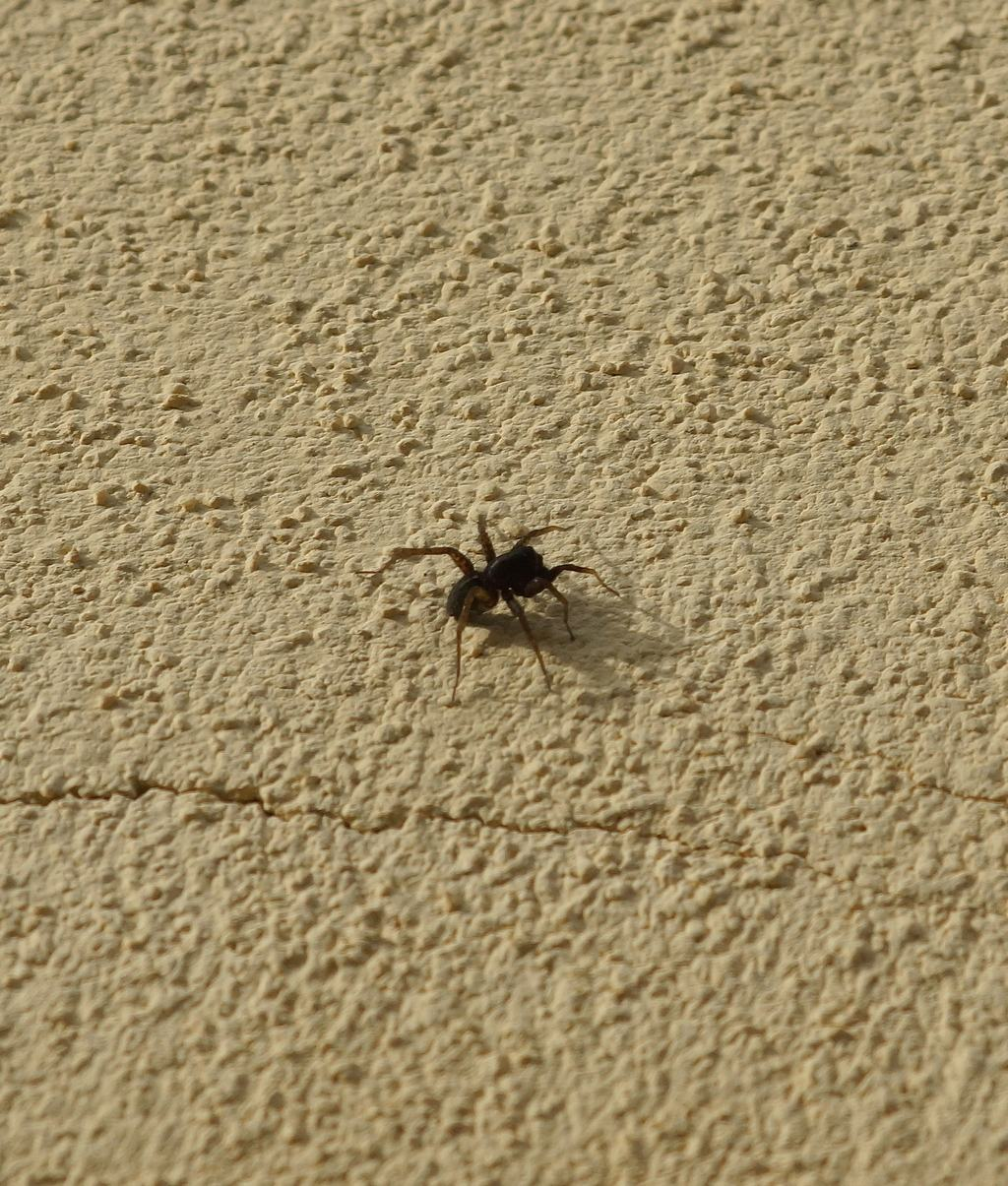 Pardosa sp. - Ostiglia (MN)