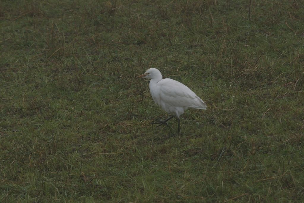 Egretta? No, Airone guardabuoi (Bubulcus ibis)