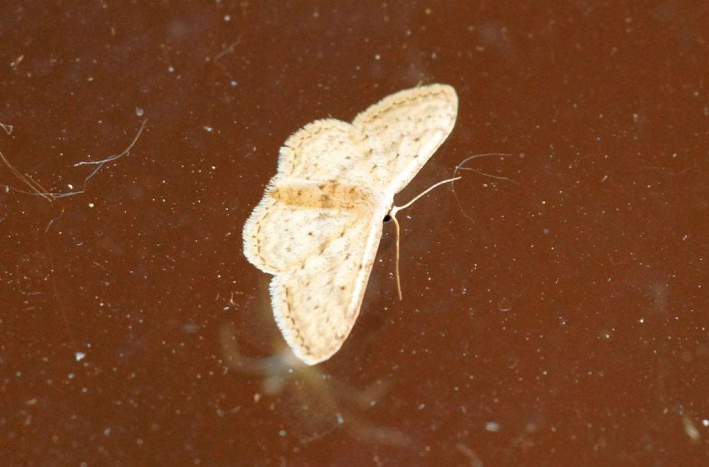 Geometridae - Idaea seriata
