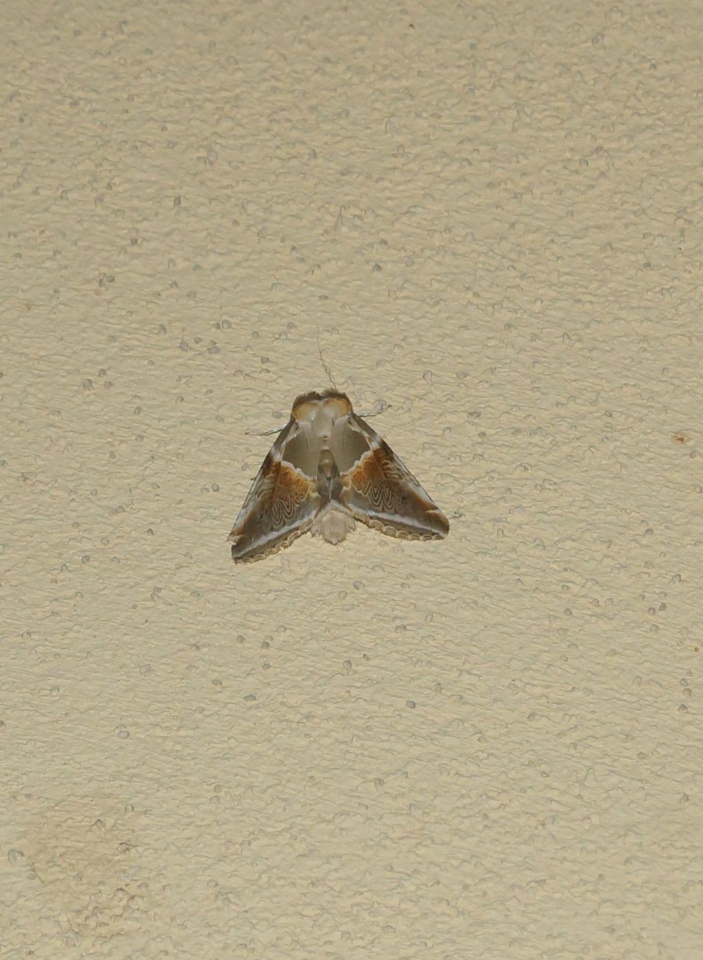 Habrosyne pyritoides - Drepanidae