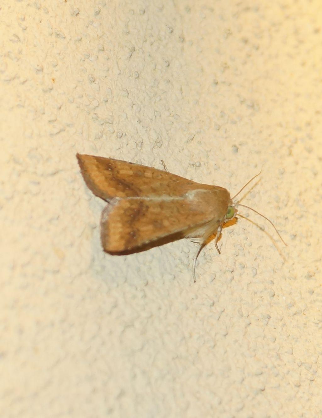 Helicoverpa armigera - Noctuidae