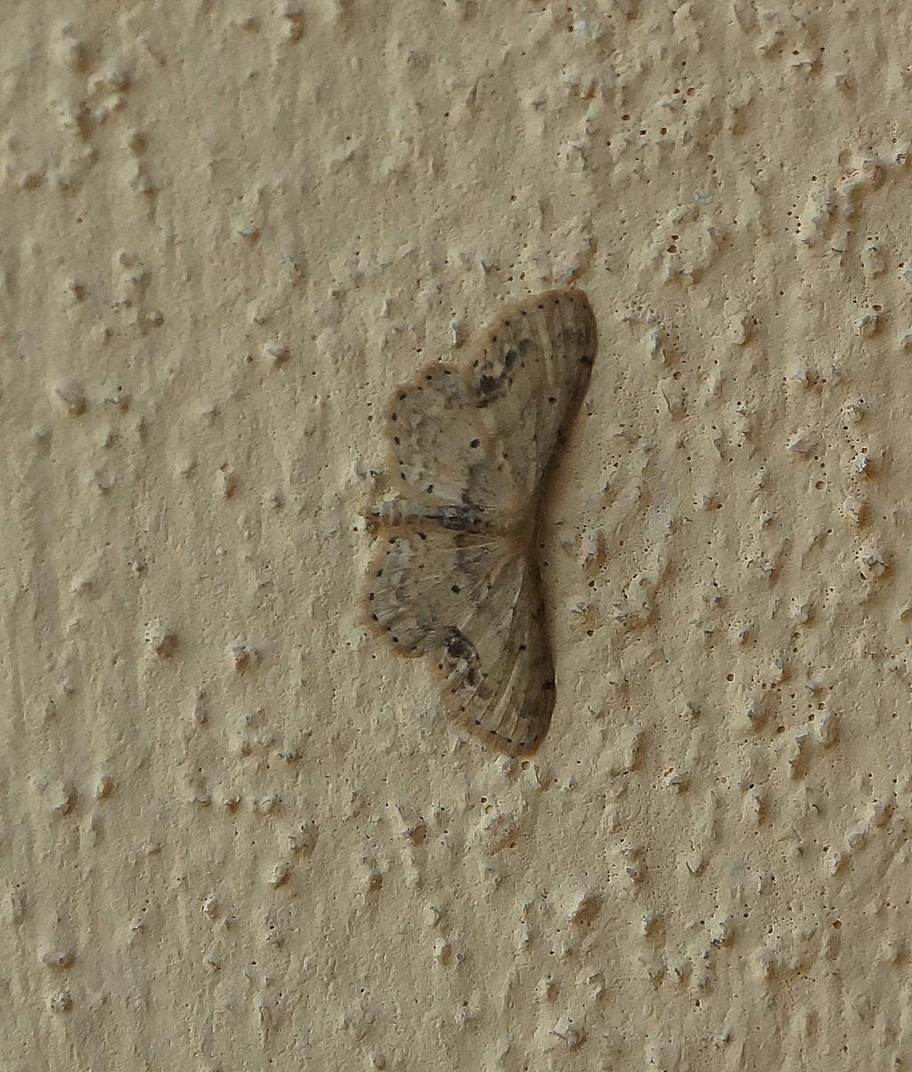 geometridae 1: Idaea dimidiata - Geometridae