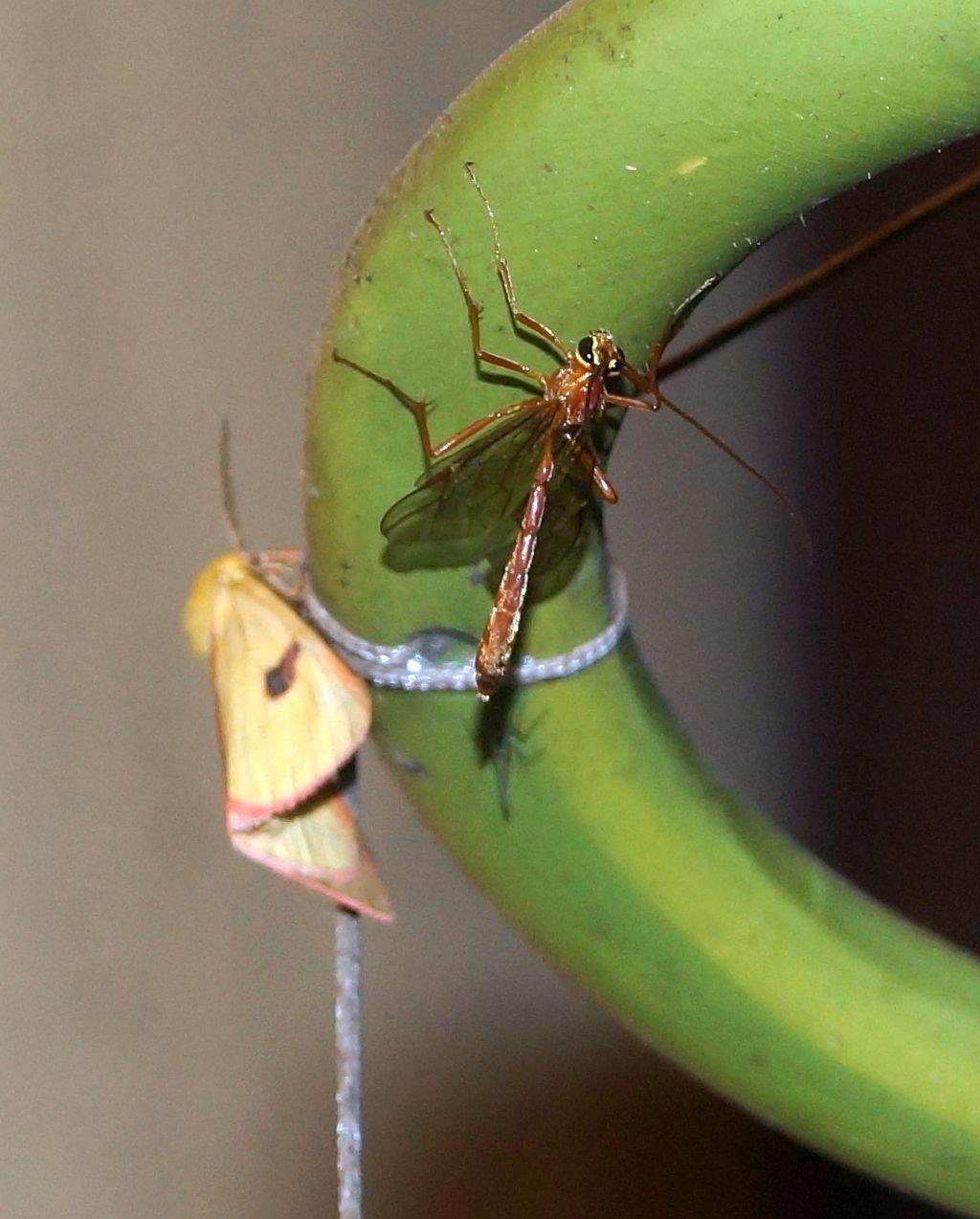 Ichnemonidae: Ophion sp.