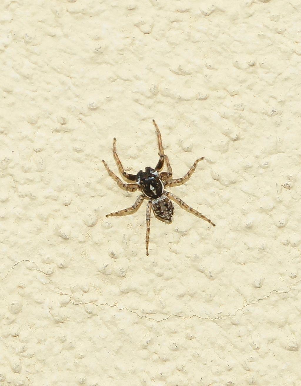 Menemerus semilimbatus - Ostiglia (MN)