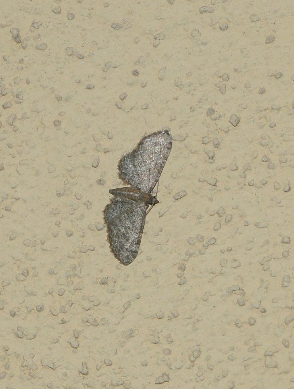 geometridae? Sì, Eupithecia cfr. haworthiata