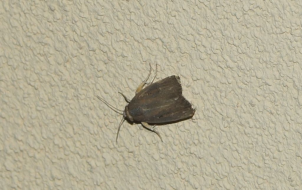 Falena? Athetis hospes - Noctuidae