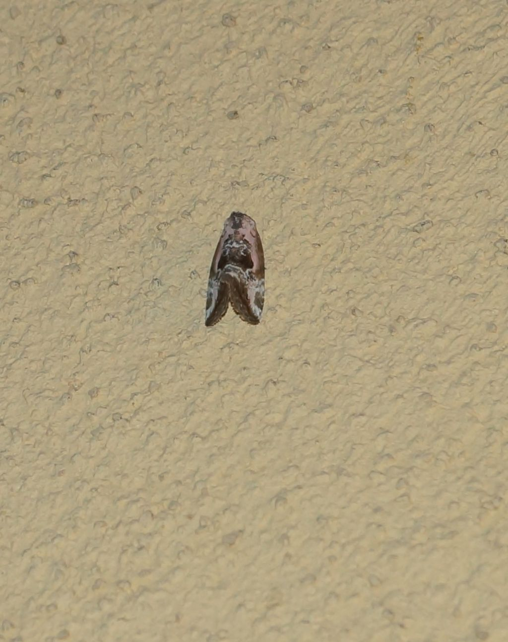 Torticidae. No, Noctuidae: Elaphria venustula