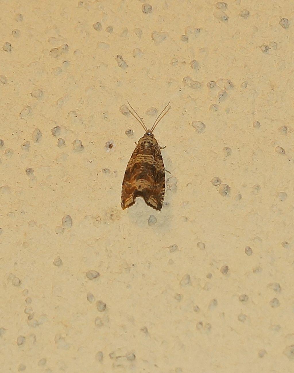 Tortricidae?  Sì, Tortricidae Olethreutinae sp.
