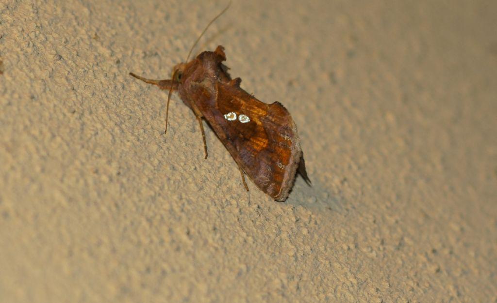 Chrysodeixis chalcites -  Noctuidae