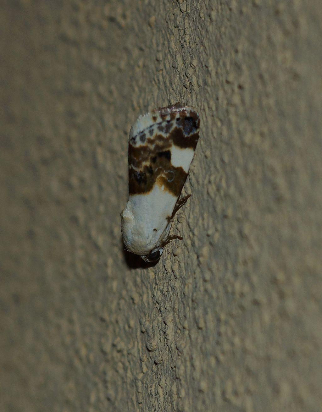 Acontia lucida - Noctuidae
