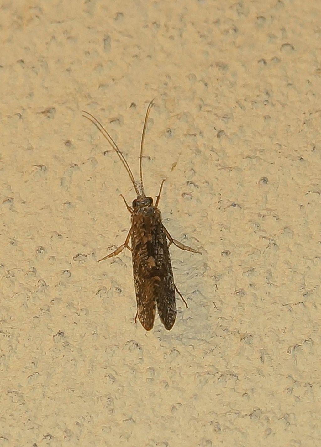 Rhyacophilidae: Rhyacophila sp.