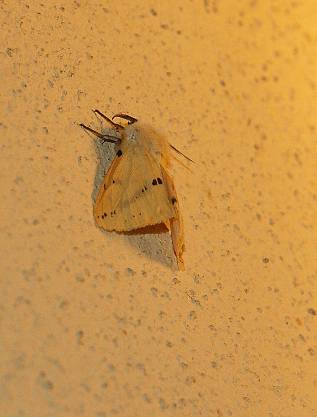Erebidae ?.... Sì.... Spilosoma luteum (Erebidae Arctiinae)