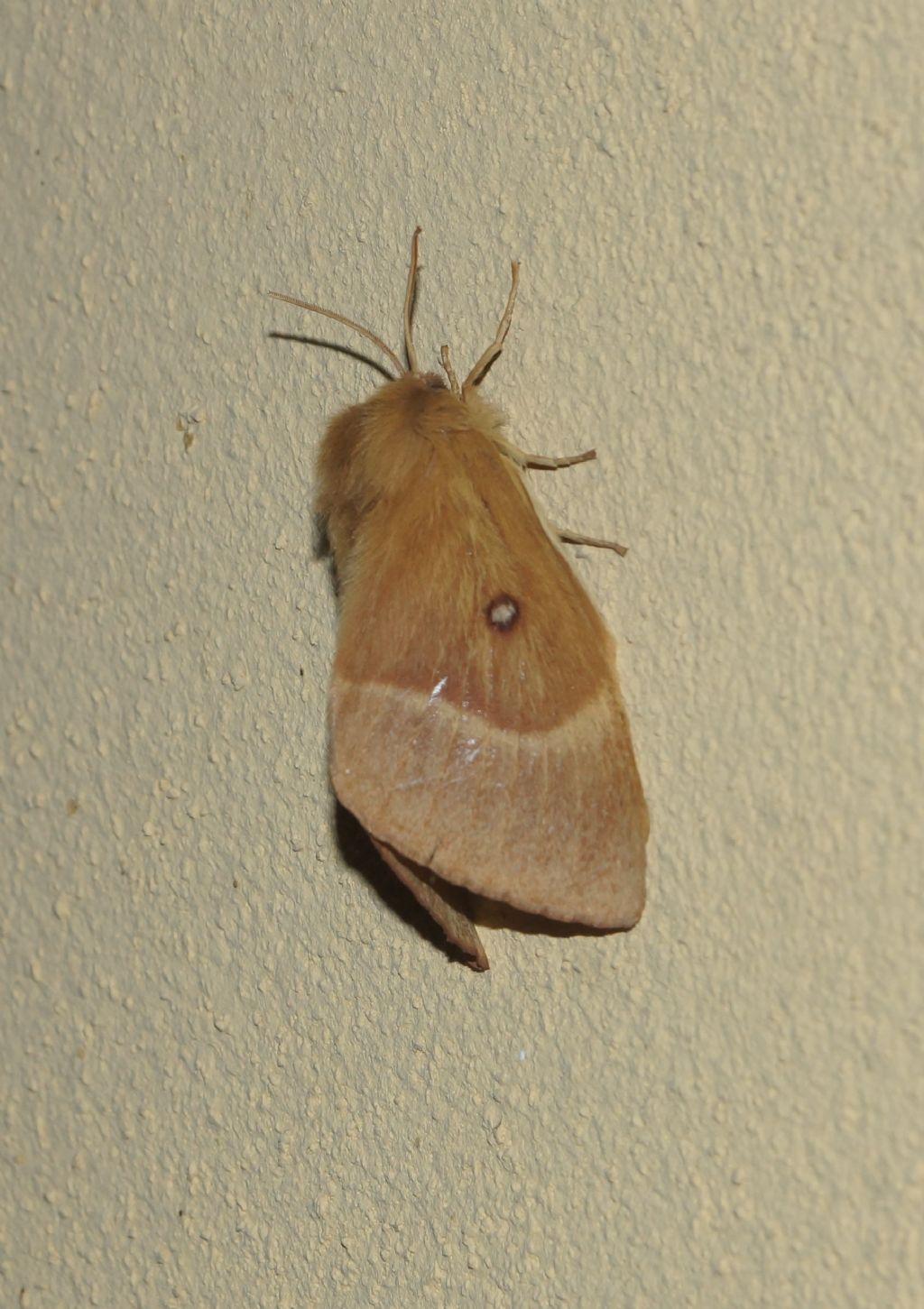 Lasiocampa quercus, femmina - Lasiocampidae