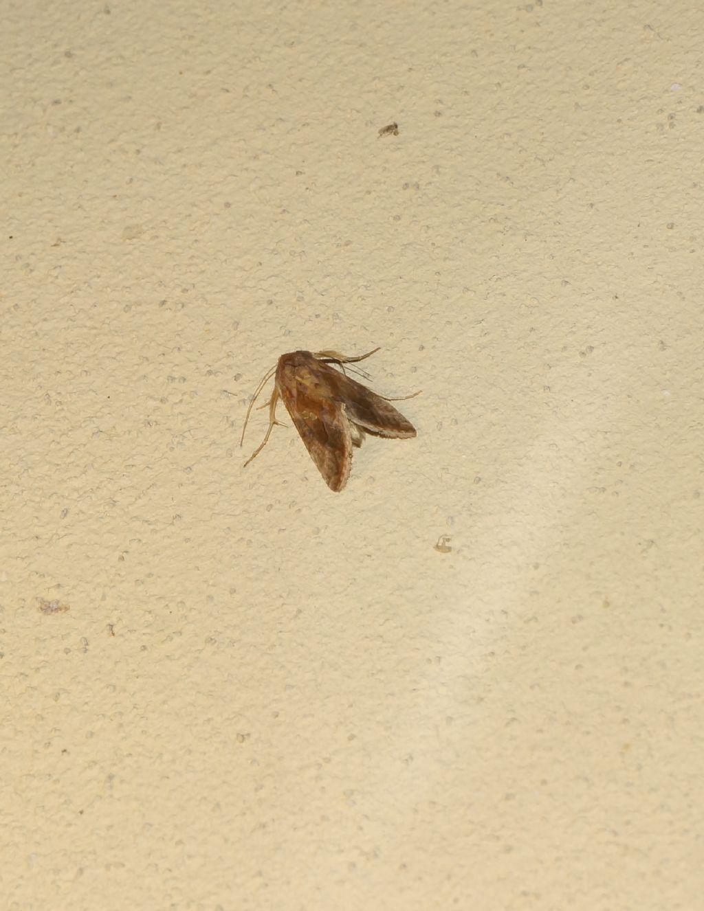 Noctuidae: Chrysodeixis chalcites