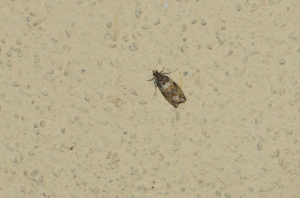 microlepidotteri
