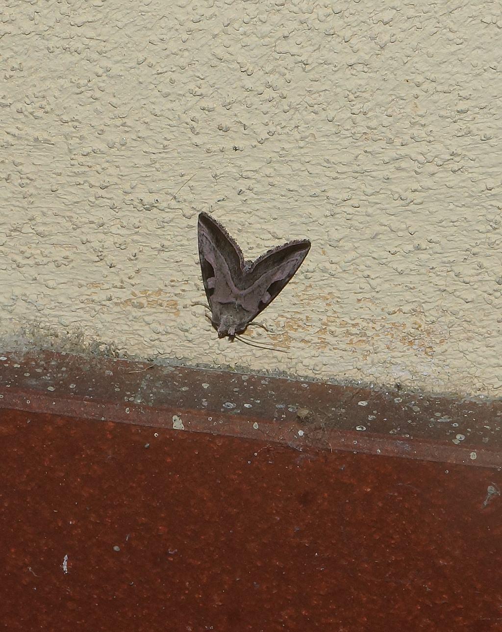 Eucarta virgo - Noctuidae