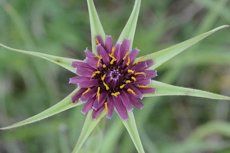 Fiore da identificare: Tragopogon porrifolius (Asteraceae)