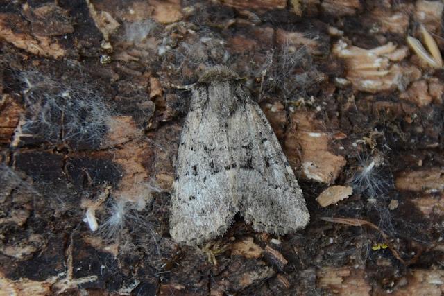 Noctuidae: Clemathada calberlai (cfr.)
