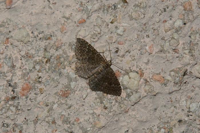 Geometridae: Catachysme riguata