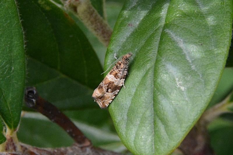 Tortricidae: Celypha cespitana