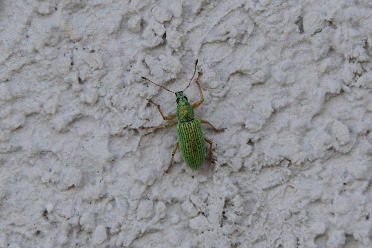 Curculionidae: Phyllobius ? no, Polydrusus formosus