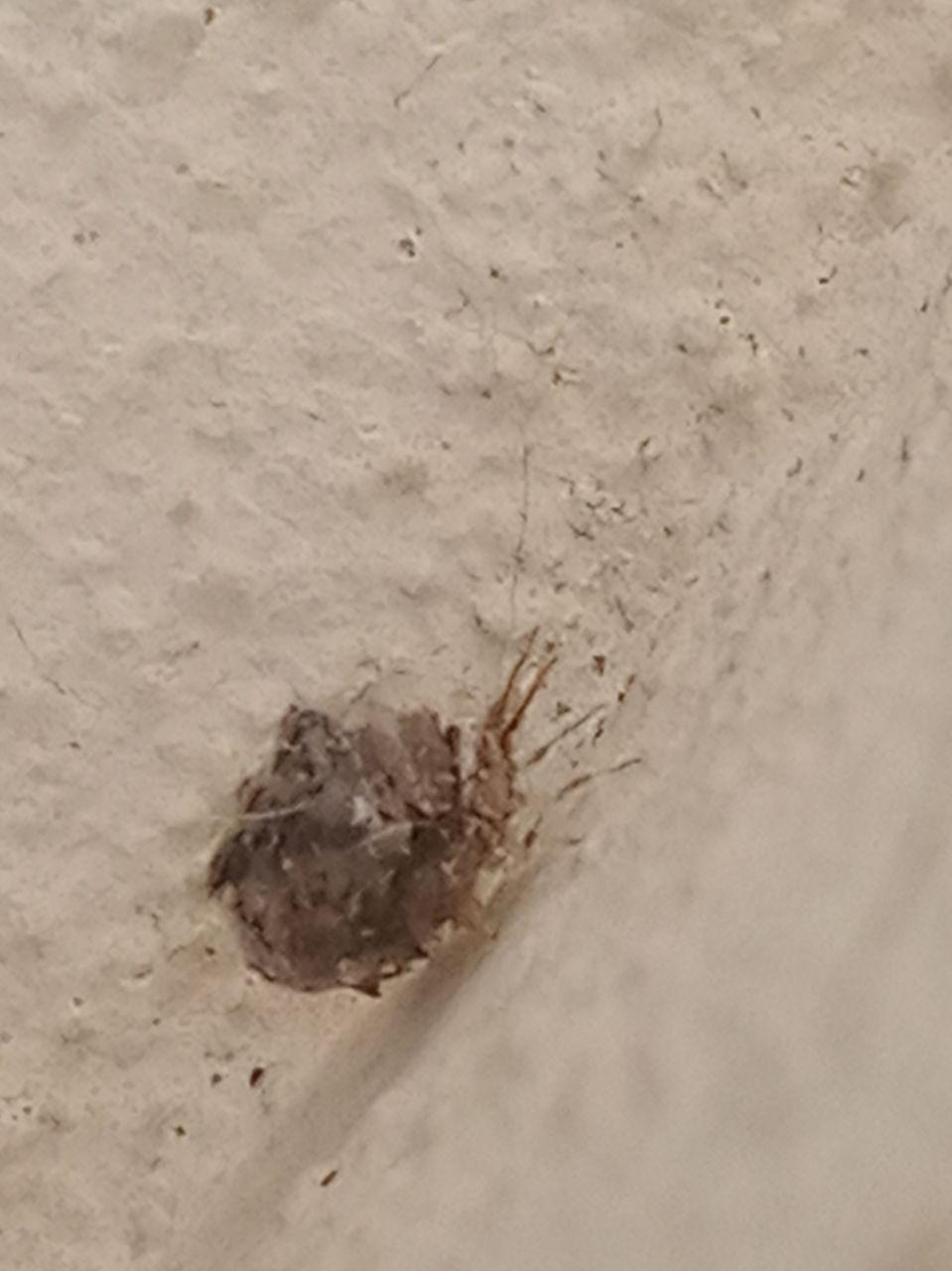 strani animaletti sul balcone: Larva di Chrysopidae: Pseudomallada sp.