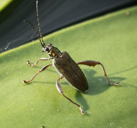 Chrysomelidae: Donacia sp.