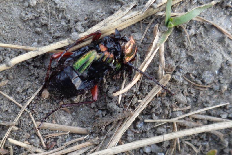 Carabidae: Carabus auronitens auronitens