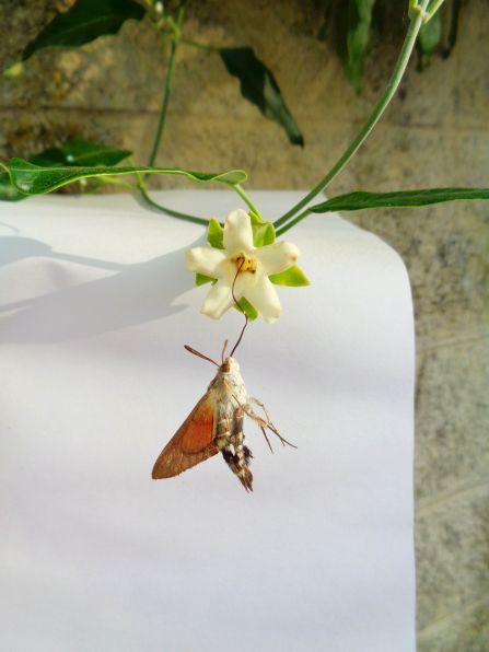 Macroglossa stellatarum vittima di Araujia sericofera
