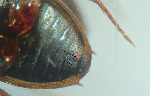 Dytiscidae da id.; No, Hydrophilidae, Berosus spinosus (cfr.)