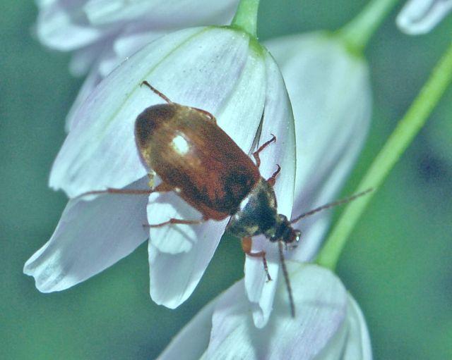 Un coleottero rossiccio:  Isomira sp. (Tenebrionidae) da det.