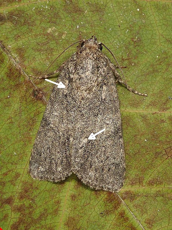 Noctuidae da identificare