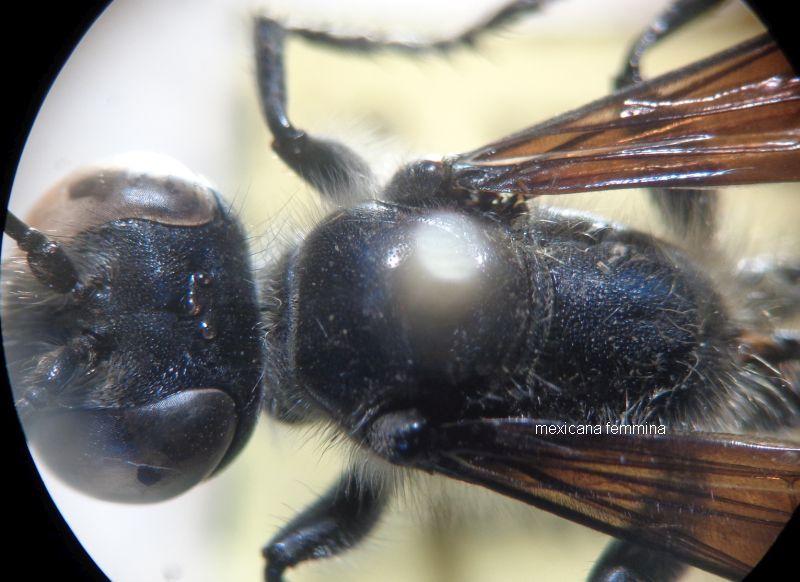Chalybion sp. o Isodontia mexicana (Sphecidae)? Chalybion femoratum