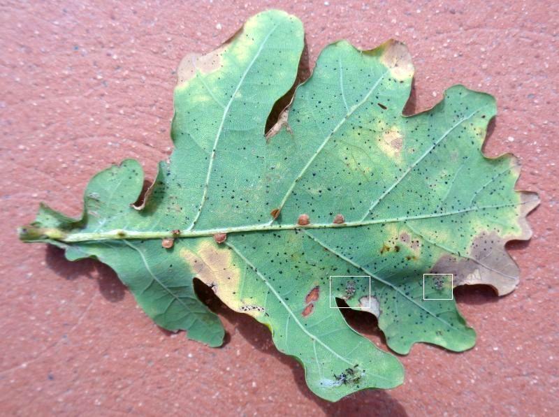Tingidae: Corythucha arcuata su farnia, e galle di Neuroterus anthracinus, Hymenoptera