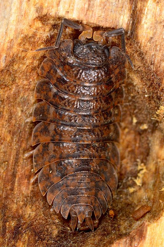 Isopode da determinare