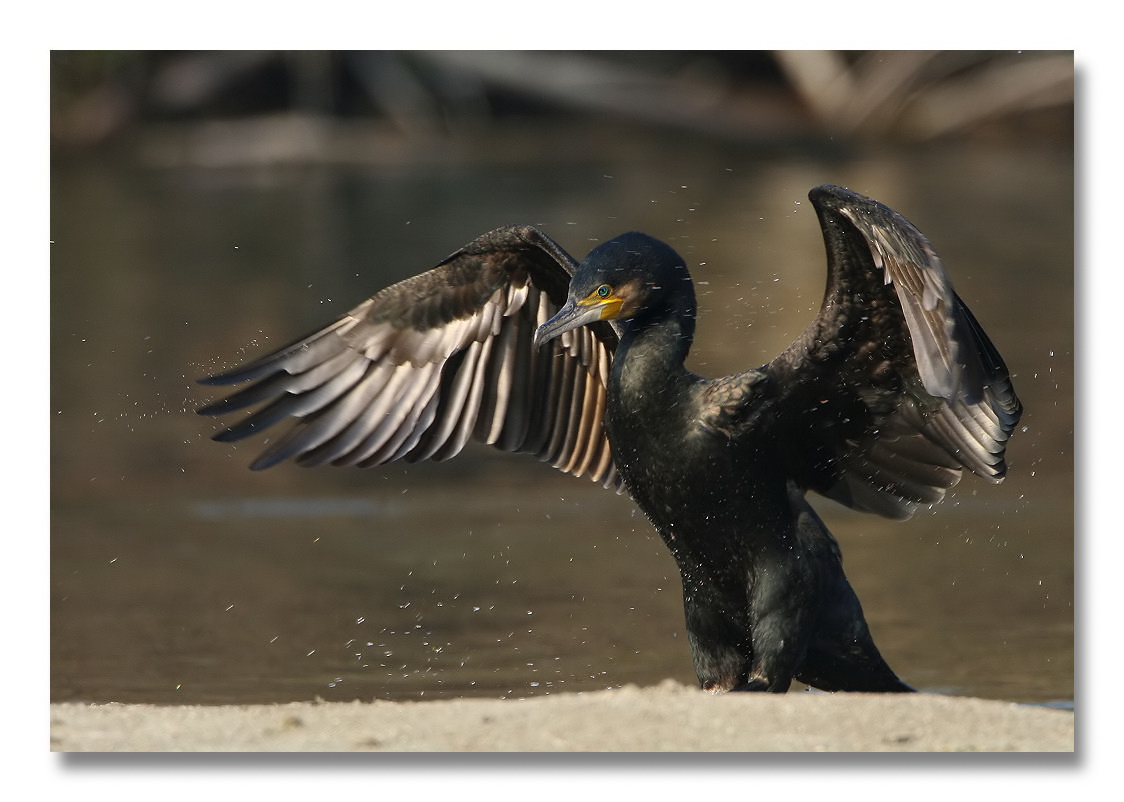 Cormorano - Phalacrocorax carbo