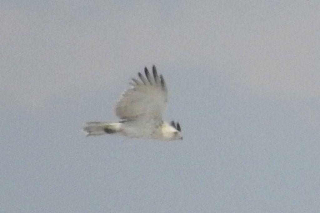 richiesta identificazione:  Biancone (Circaetus gallicus)